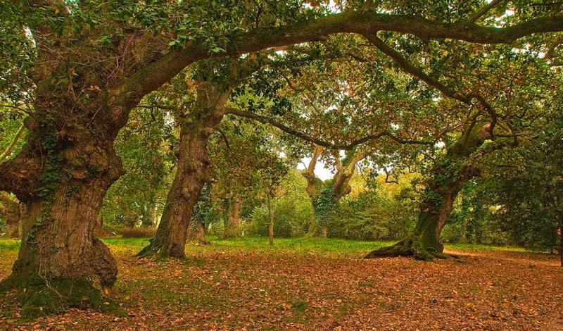 Gijón- Old oaks in Carbayera del Tragamón